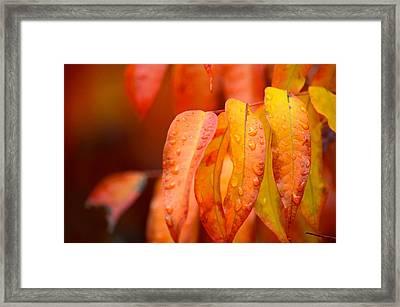 Golden Leaves In The Rain At Stanford Framed Print