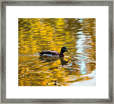 Golden   Leif Sohlman Framed Print