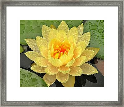 Golden Lily Framed Print