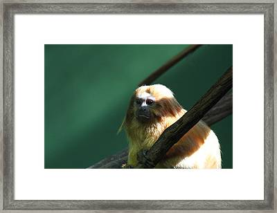 Golden Lion Tamarin - National Zoo - 011314 Framed Print by DC Photographer