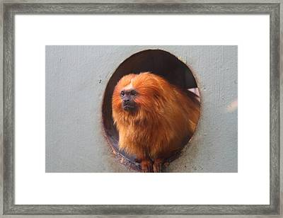Golden Lion Tamarin - National Zoo - 01132 Framed Print by DC Photographer