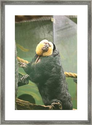 Golden Lion Tamarin - National Zoo - 01137 Framed Print by DC Photographer