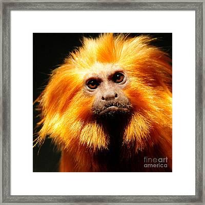 Golden Lion Tamarin Framed Print