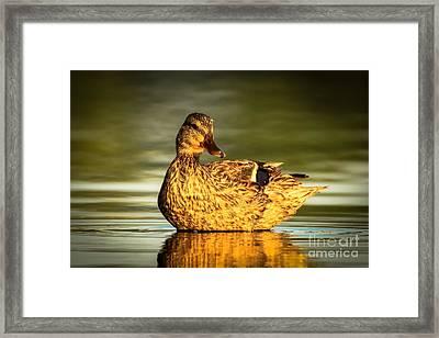 Golden Mallard Framed Print by Heidi Piccerelli