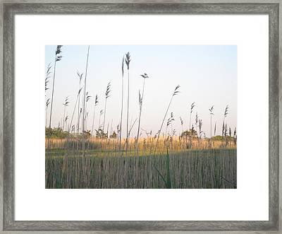 Golden Marshes Framed Print