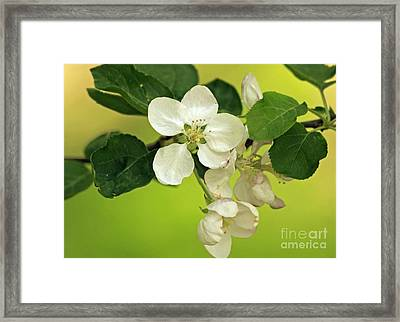 Golden Moments - Wild Apple Blossom  Framed Print by Inspired Nature Photography Fine Art Photography