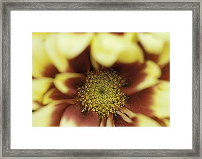 Golden 'mum Framed Print by Lesley Rigg
