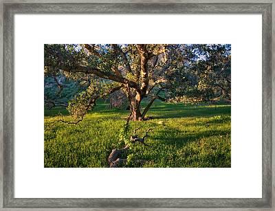 Golden Oak Framed Print