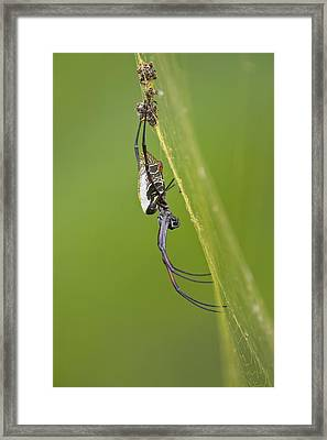 Golden Orb-weaver Spider Framed Print by Science Photo Library