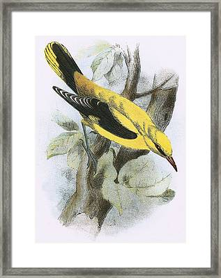 Golden Oriole Framed Print by English School