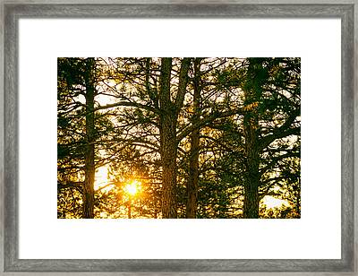Golden Pine Tree Forest Framed Print by James BO  Insogna