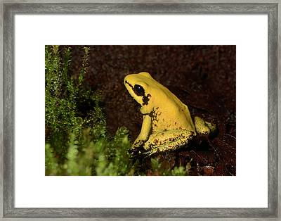 Golden Poison Arrow Frog Framed Print by Nigel Downer