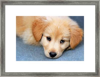 Retriever Puppy Framed Print