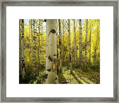 Golden Quaking Aspen In Full Fall Framed Print by Maresa Pryor