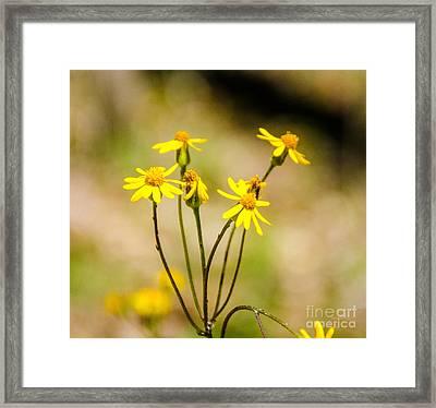 Golden Ragwort Framed Print