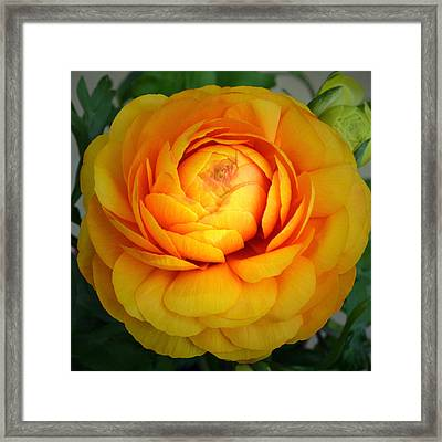 Golden Ranunculus. Framed Print by Terence Davis