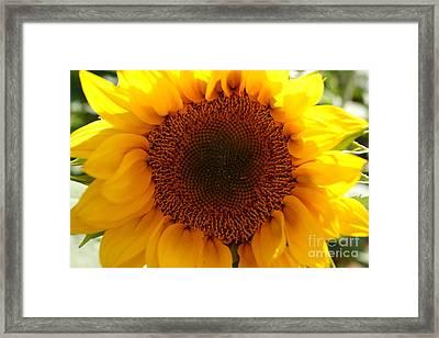 Golden Ratio Sunflower Framed Print by Kerri Mortenson