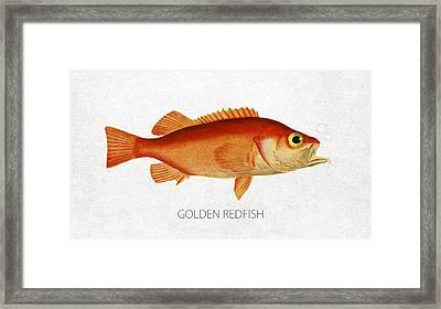 Golden Redfish Framed Print by Aged Pixel