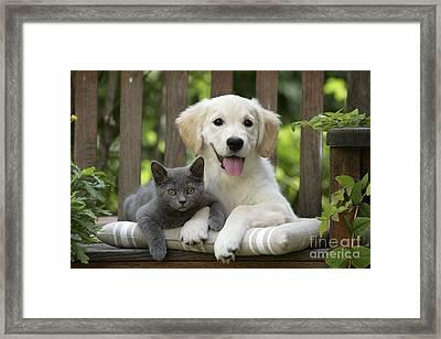 Golden Retriever And Kitten Framed Print by Jean-Michel Labat