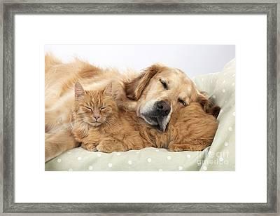 Golden Retriever And Orange Cat Framed Print