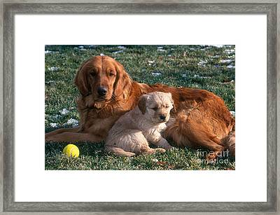Golden Retriever And Puppy Framed Print