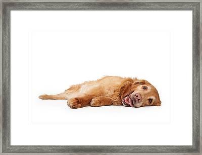 Golden Retriever Dog Laying Down  Framed Print by Susan Schmitz