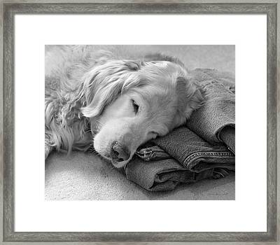 Golden Retriever Dog On Forever On Blue Jeans Black And White Framed Print by Jennie Marie Schell
