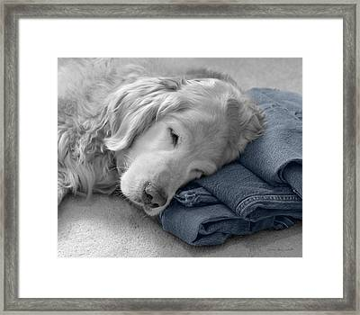 Golden Retriever Dog Forever On Blue Jeans Monochrome Framed Print by Jennie Marie Schell