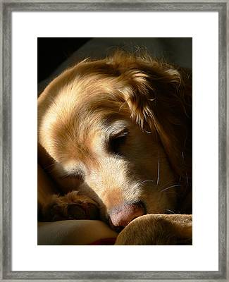 Golden Retriever Dog Sleeping In The Morning Light  Framed Print by Jennie Marie Schell
