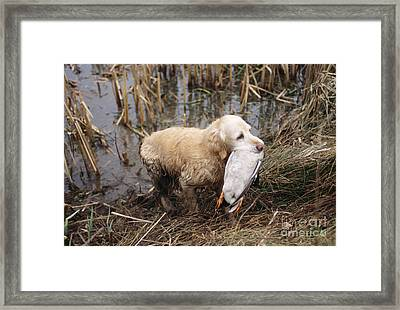 Golden Retriever Dog With Mallard Duck Framed Print by John Daniels
