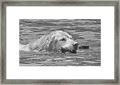 Golden Retriever Fetch The Stick Black And White Framed Print by Jennie Marie Schell