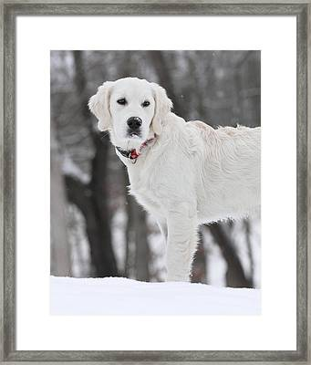 Golden Retriever In The Snow Framed Print by Coby Cooper