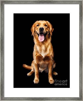 Golden Retriever On Black Background Framed Print by Oleksiy Maksymenko