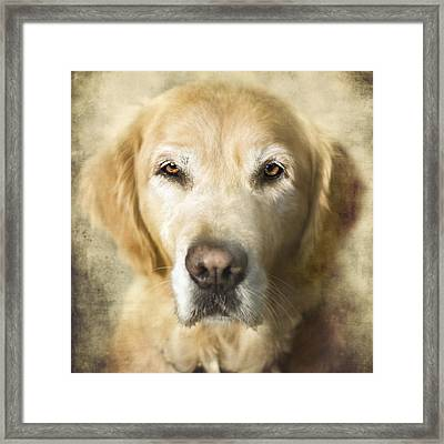 Golden Retriever Portrait Framed Print by Wolf Shadow  Photography