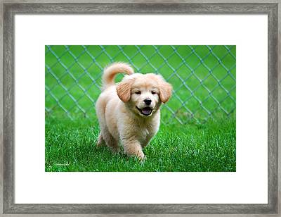 Golden Retriever Puppy Framed Print by Christina Rollo