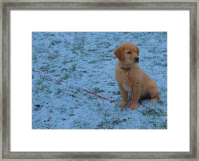 Golden Retriever Puppy In The Snow Framed Print