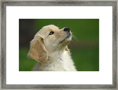 Golden Retriever Puppy Framed Print
