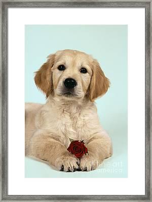 Golden Retriever Puppy With Rose Framed Print