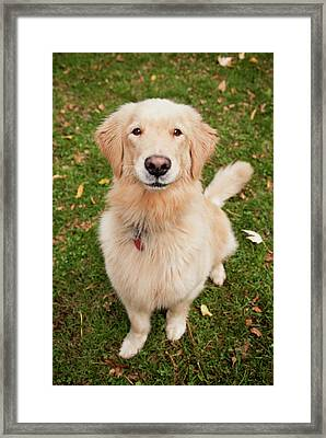 Golden Retriever Framed Print by Ron Levine