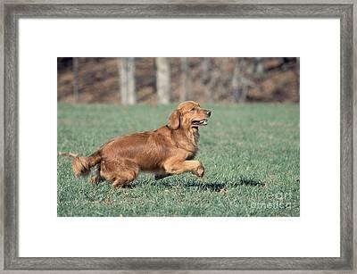 Golden Retriever Running Framed Print by David Davis
