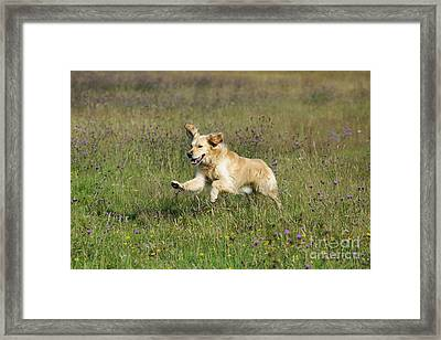 Golden Retriever Running Framed Print by John Daniels