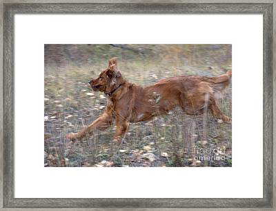 Golden Retriever Running Framed Print by William H. Mullins