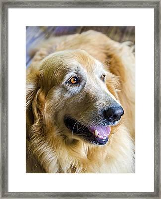 Golden Retriever Smile Framed Print by Carolyn Marshall