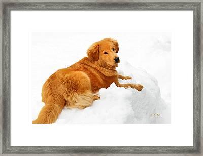 Golden Retriever Snowball Framed Print by Christina Rollo