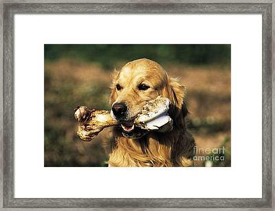 Golden Retriever Framed Print