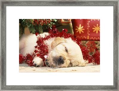 Golden Retriever Under Christmas Tree Framed Print