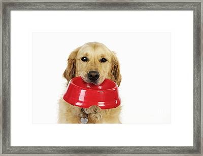 Golden Retriever With Bowl Framed Print by John Daniels