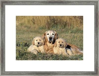 Golden Retriever With Puppies Framed Print by Rolf Kopfle
