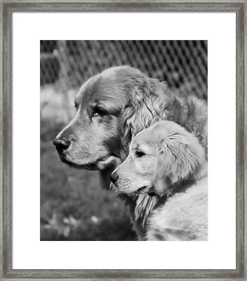 Golden Retrivers  Framed Print by Paulina Szajek