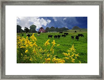 Golden Rod Black Angus Cattle  Framed Print by Randall Branham